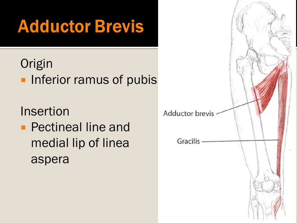 Adductor Brevis Origin Inferior ramus of pubis Insertion