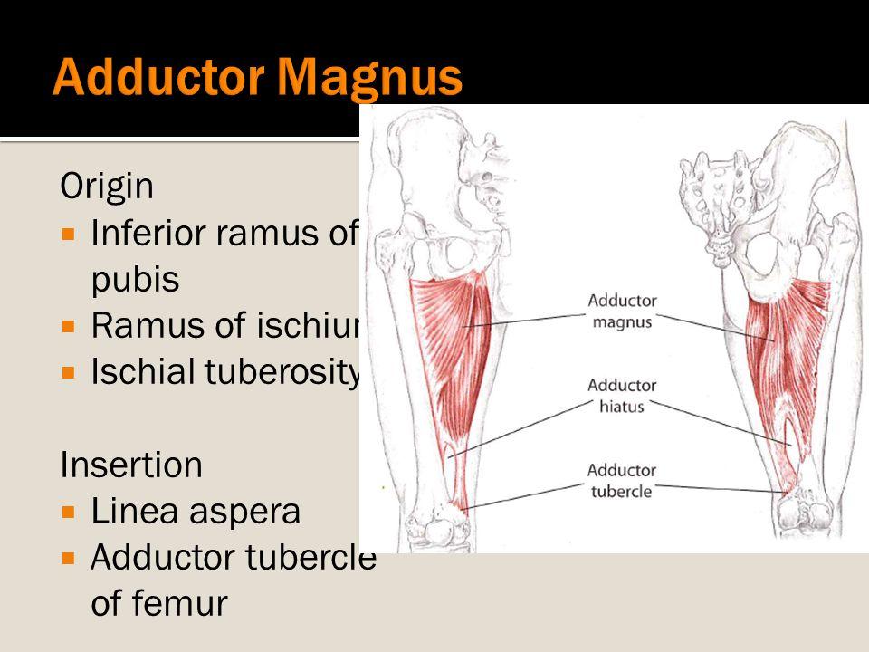 Adductor Magnus Origin Inferior ramus of pubis Ramus of ischium