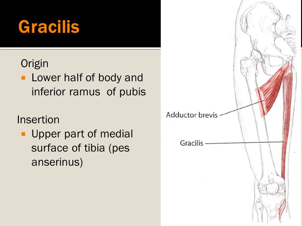 Gracilis Origin Lower half of body and inferior ramus of pubis