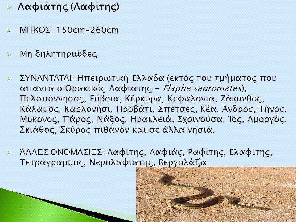 Λαφιάτης (Λαφίτης) ΜΗΚΟΣ- 150cm-260cm Μη δηλητηριώδες
