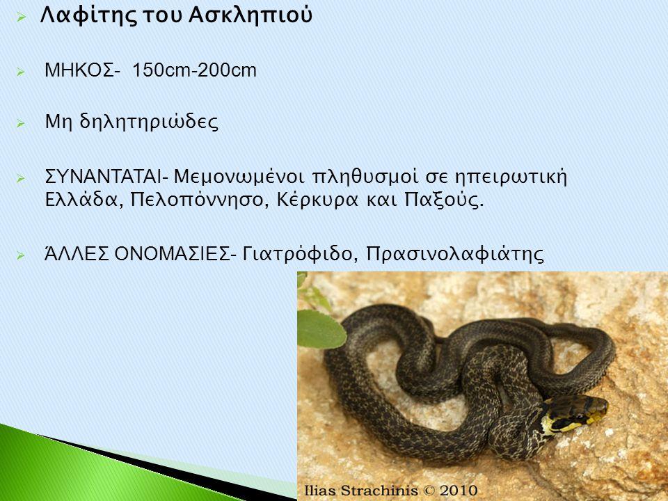 Λαφίτης του Ασκληπιού ΜΗΚΟΣ- 150cm-200cm Μη δηλητηριώδες