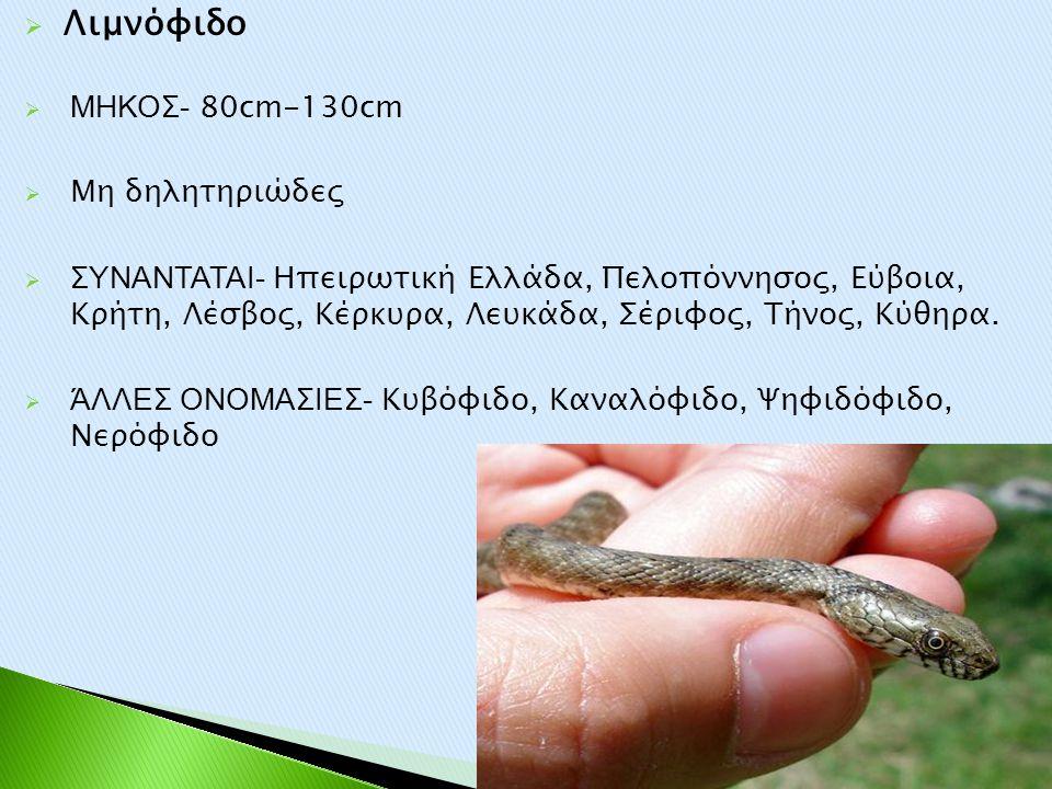 Λιμνόφιδο ΜΗΚΟΣ- 80cm-130cm Μη δηλητηριώδες