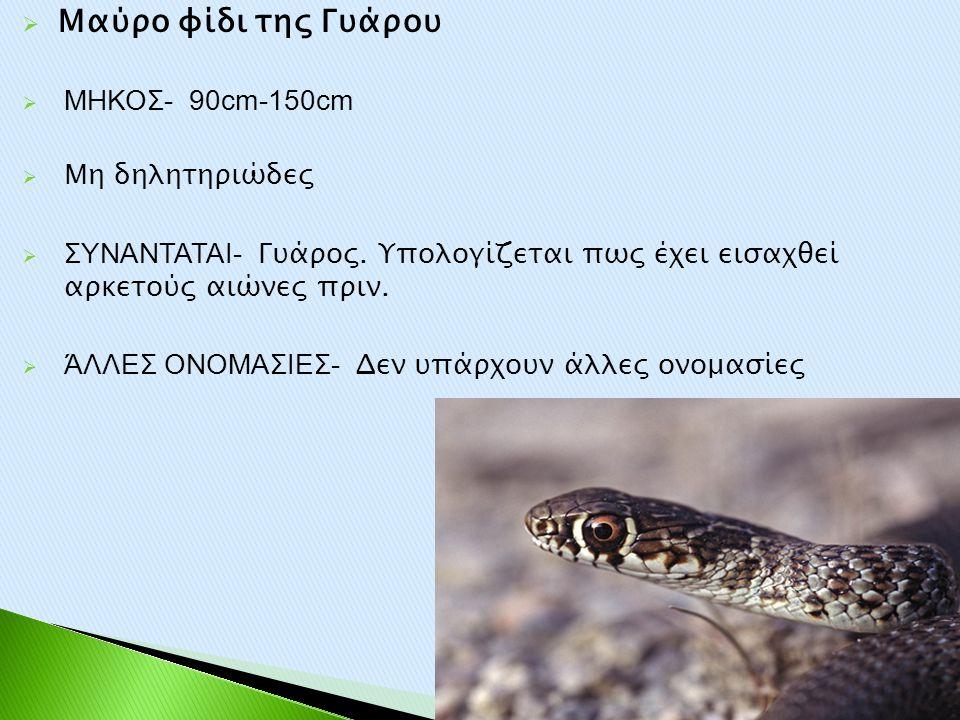 Μαύρο φίδι της Γυάρου ΜΗΚΟΣ- 90cm-150cm Μη δηλητηριώδες