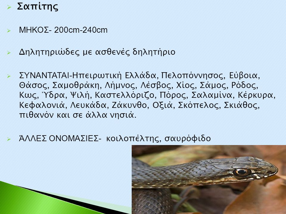 Σαπίτης ΜΗΚΟΣ- 200cm-240cm Δηλητηριώδες με ασθενές δηλητήριο