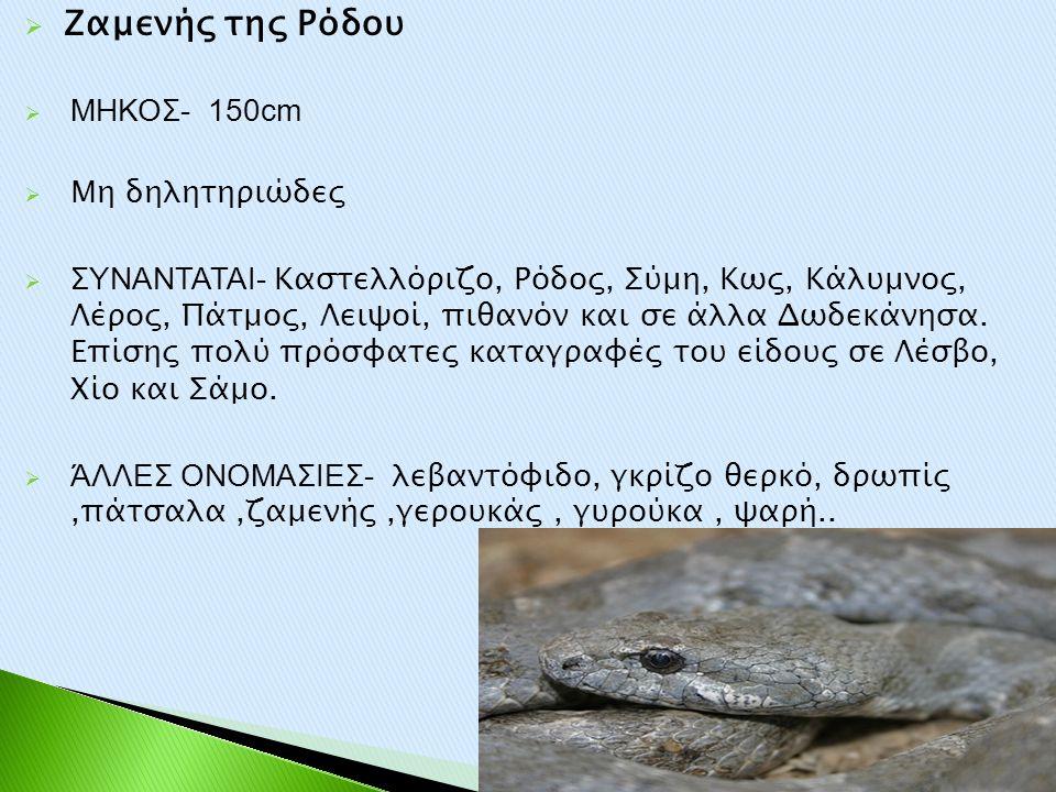 Ζαμενής της Ρόδου ΜΗΚΟΣ- 150cm Μη δηλητηριώδες