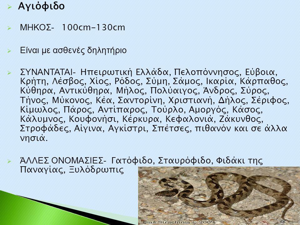 Αγιόφιδο ΜΗΚΟΣ- 100cm-130cm Είναι με ασθενές δηλητήριο