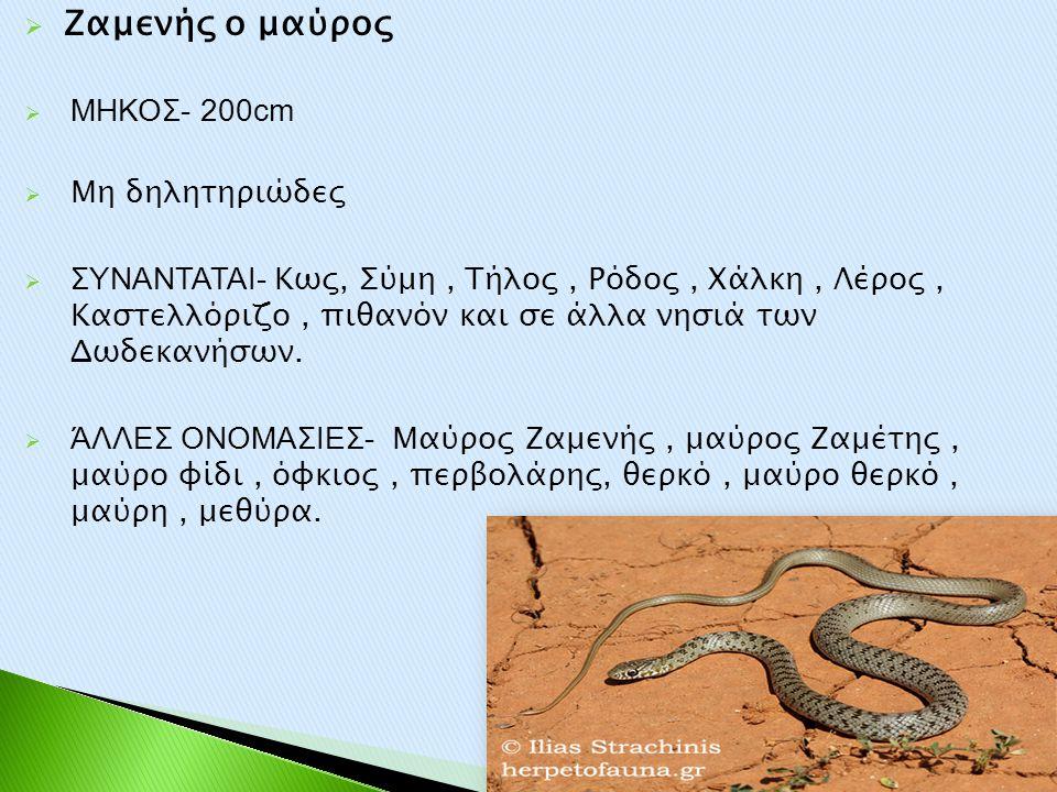 Ζαμενής ο μαύρος ΜΗΚΟΣ- 200cm Μη δηλητηριώδες
