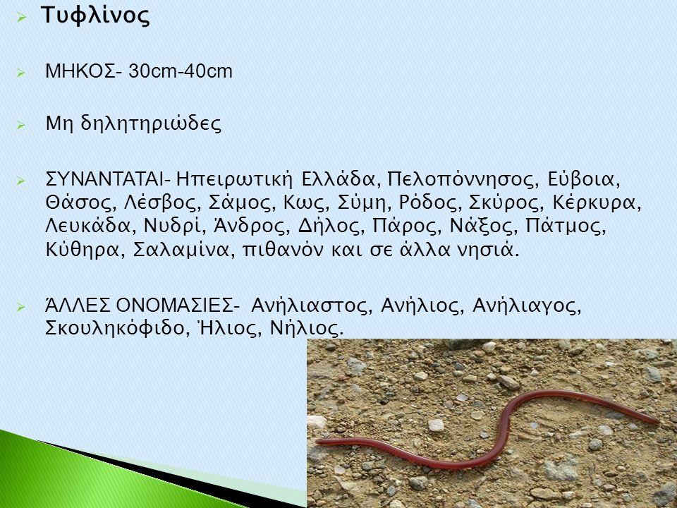 Τυφλίνος ΜΗΚΟΣ- 30cm-40cm Μη δηλητηριώδες