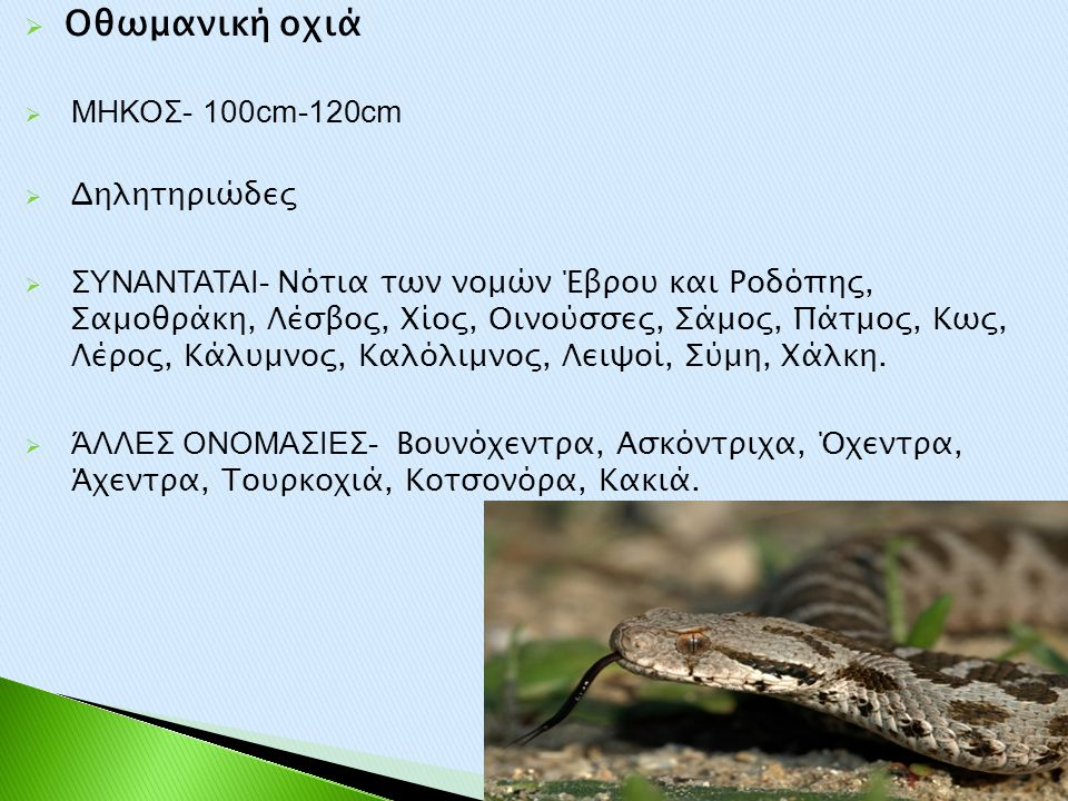 Oθωμανική οχιά ΜΗΚΟΣ- 100cm-120cm Δηλητηριώδες