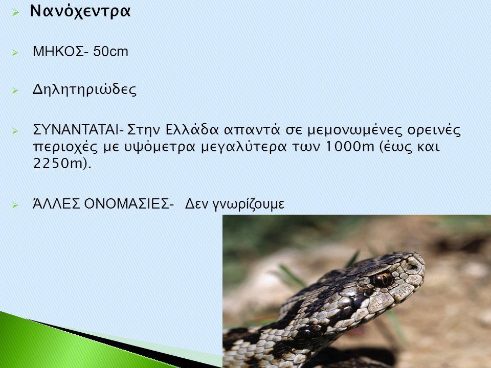 Νανόχεντρα ΜΗΚΟΣ- 50cm Δηλητηριώδες
