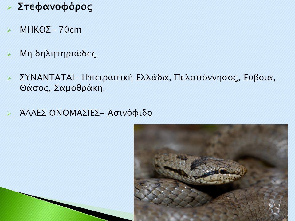 Στεφανοφόρος ΜΗΚΟΣ- 70cm Μη δηλητηριώδες