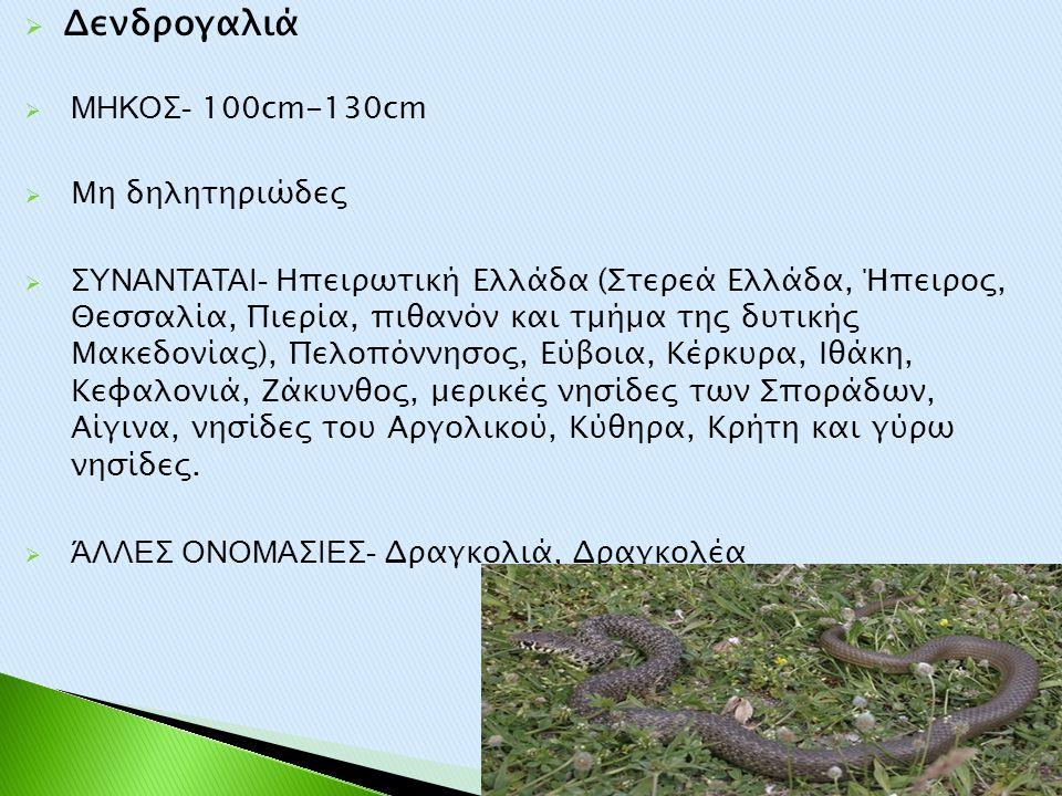 Δενδρογαλιά ΜΗΚΟΣ- 100cm-130cm Μη δηλητηριώδες