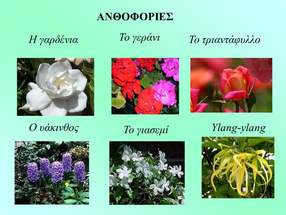 ΑΝΘΟΦΟΡΙΕΣ Το γεράνι Η γαρδένια Το τριαντάφυλλο Ο υάκινθος Ylang-ylang Το γιασεμί