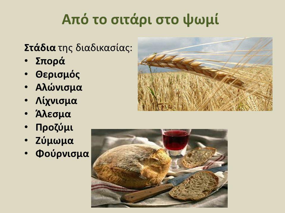 Από το σιτάρι στο ψωμί Στάδια της διαδικασίας: Σπορά Θερισμός Αλώνισμα