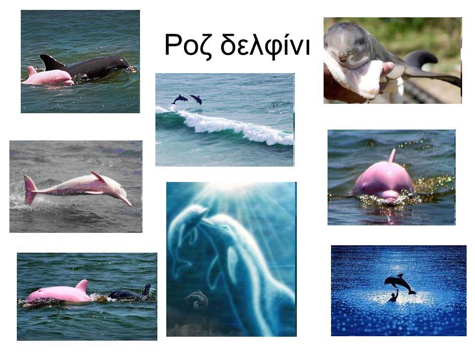 Ροζ δελφίνι