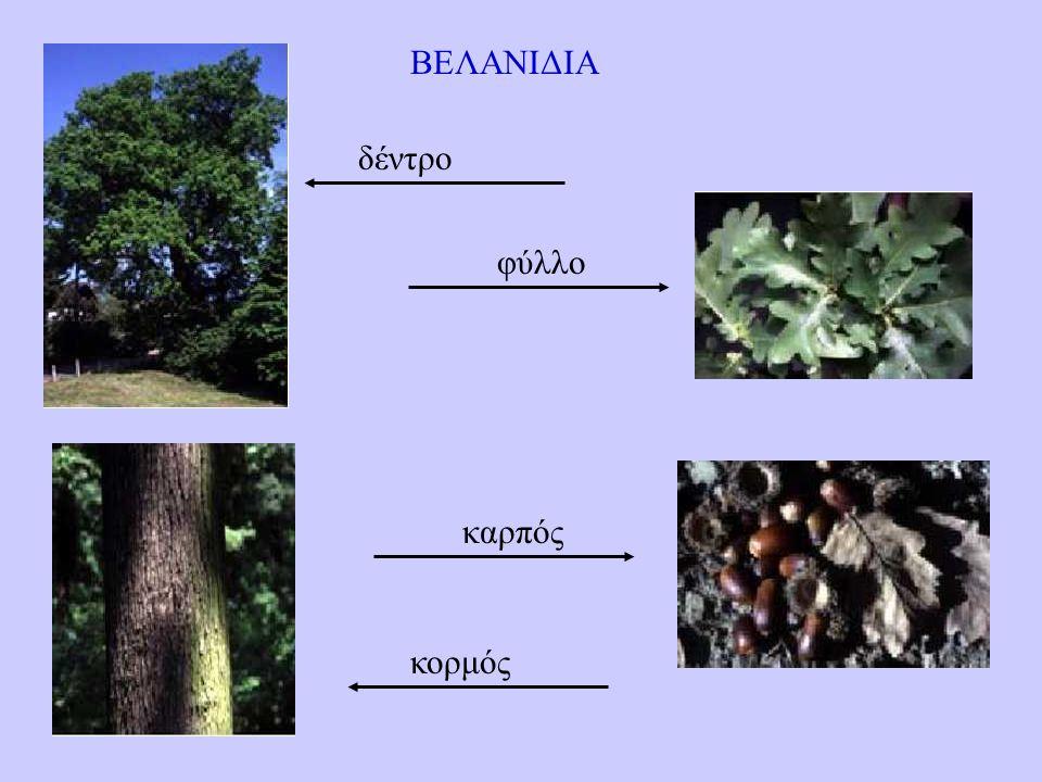 ΒΕΛΑΝΙΔΙΑ δέντρο φύλλο καρπός κορμός