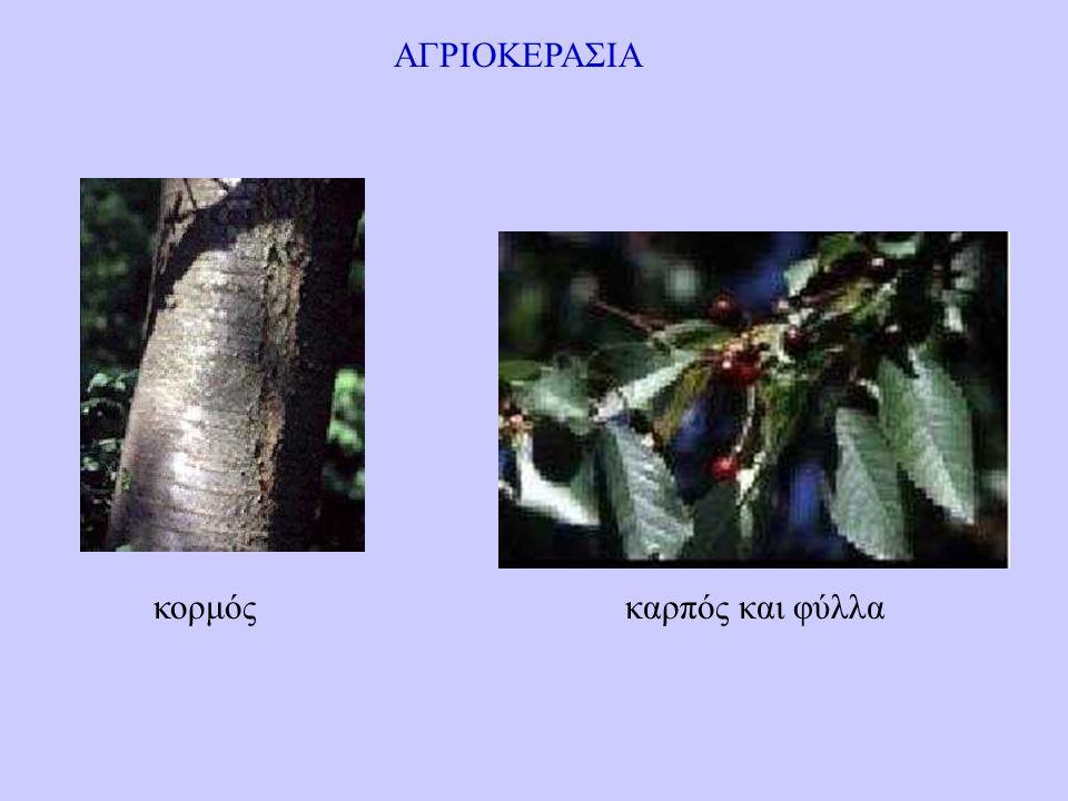 ΑΓΡΙΟΚΕΡΑΣΙΑ κορμός καρπός και φύλλα