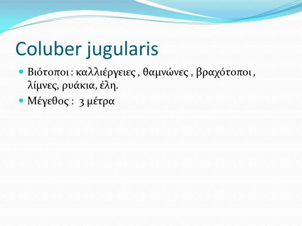 Coluber jugularis Βιότοποι : καλλιέργειες , θαμνώνες , βραχότοποι , λίμνες, ρυάκια, έλη.