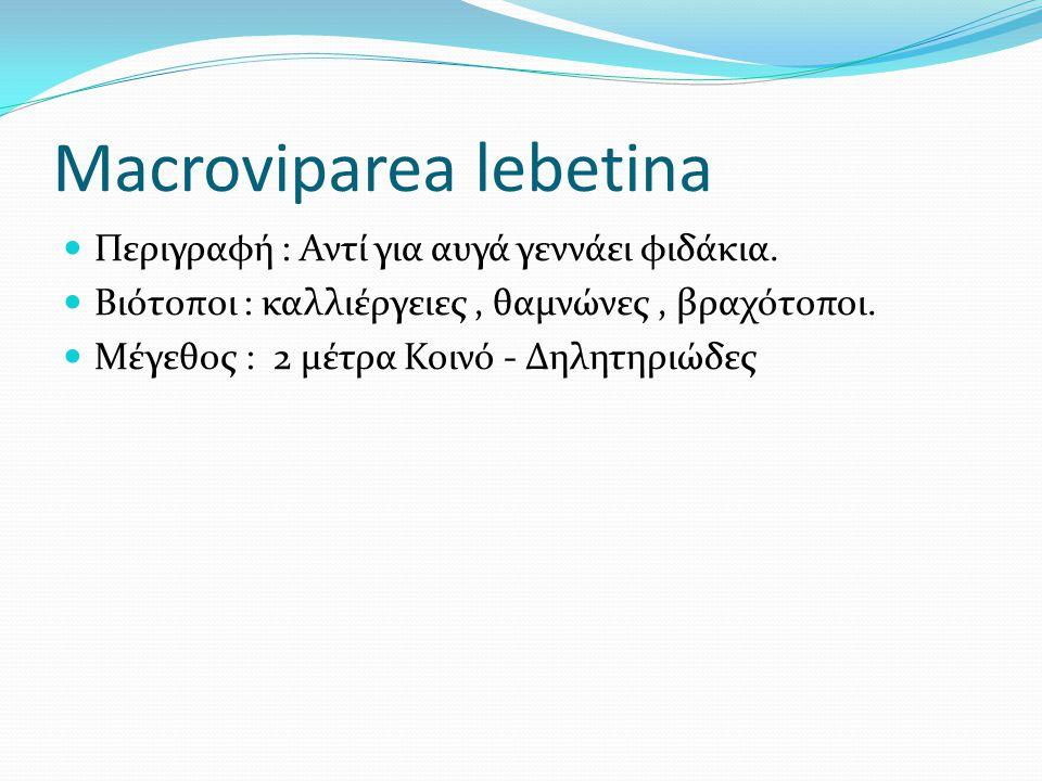 Macroviparea lebetina