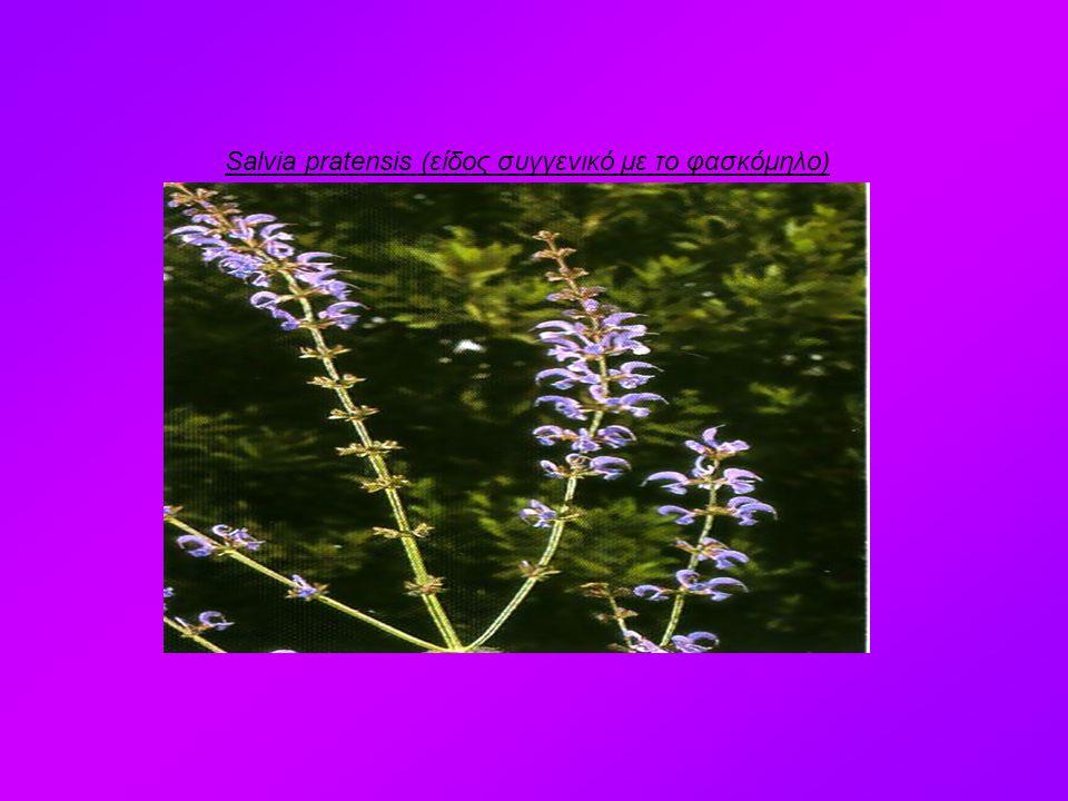 Salvia pratensis (είδος συγγενικό με το φασκόμηλο)