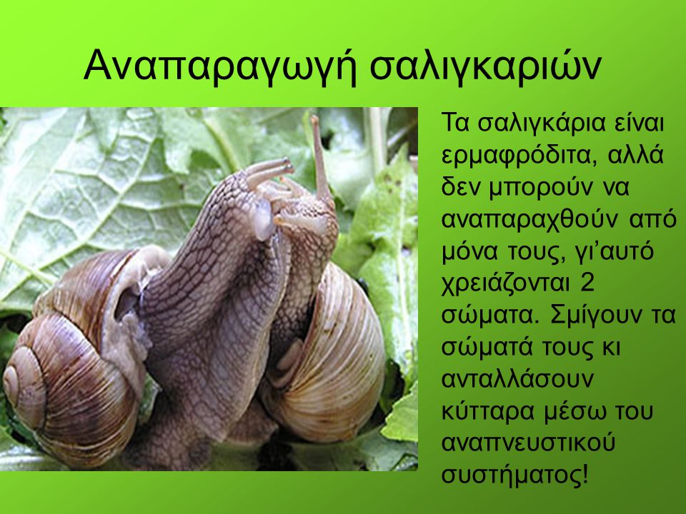 Αναπαραγωγή σαλιγκαριών