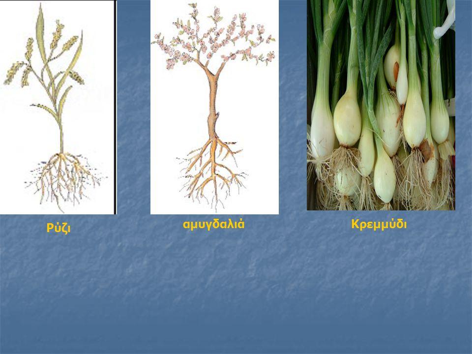 αμυγδαλιά Κρεμμύδι Ρύζι