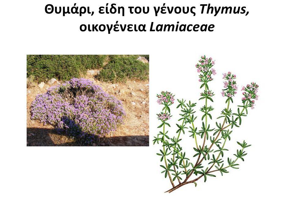 Θυμάρι, είδη του γένους Thymus, οικογένεια Lamiaceae