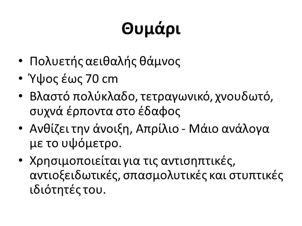 Θυμάρι Πολυετής αειθαλής θάμνος Ύψος έως 70 cm