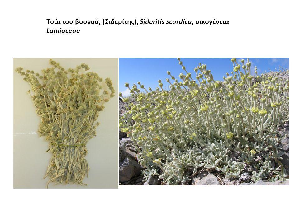 Τσάι του βουνού, (Σιδερίτης), Sideritis scardica, οικογένεια Lamiaceae