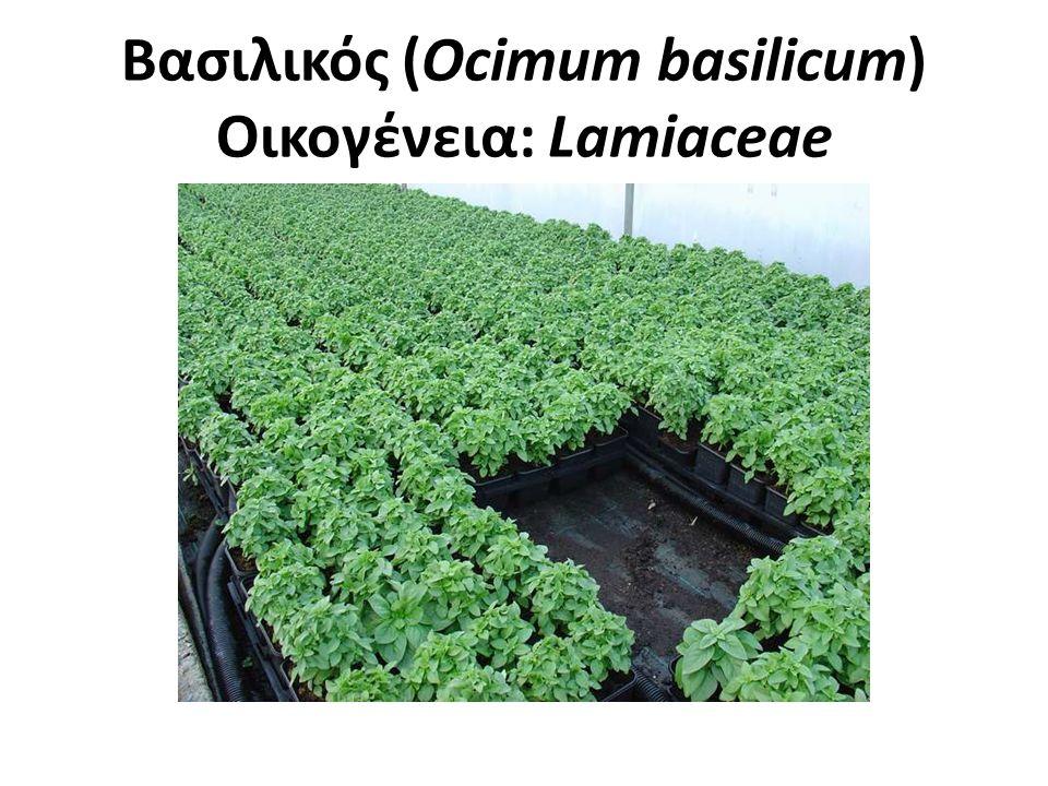 Βασιλικός (Ocimum basilicum) Οικογένεια: Lamiaceae