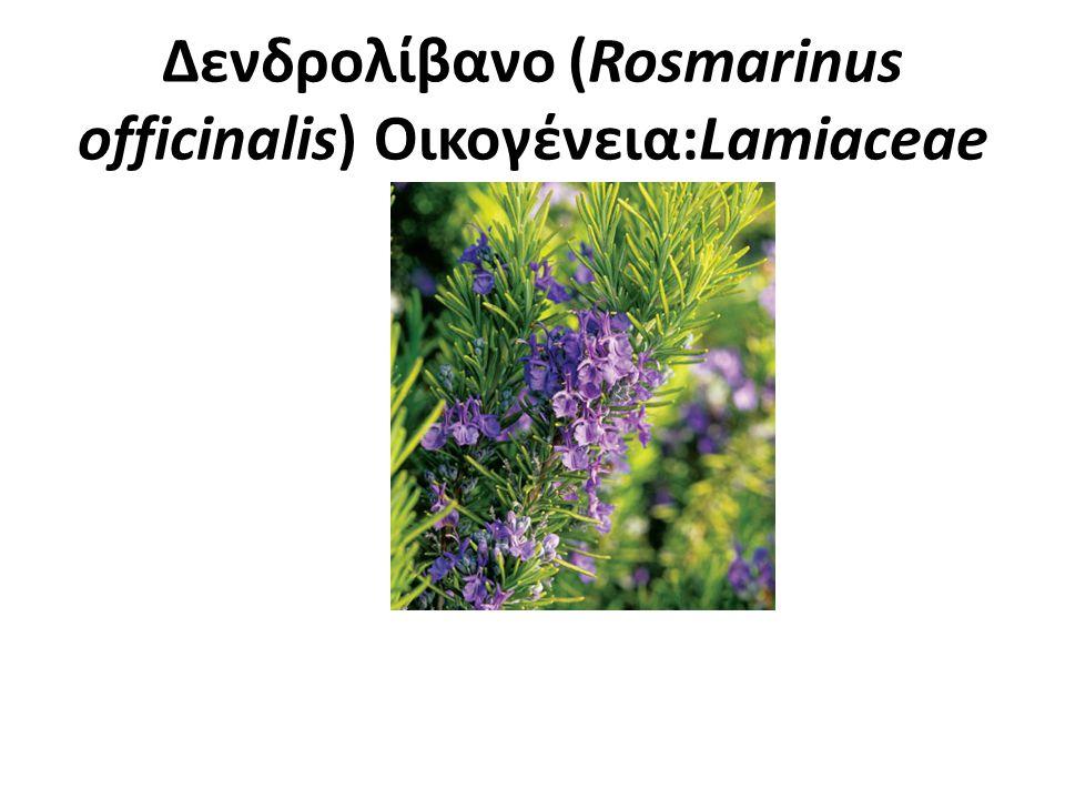 Δενδρολίβανο (Rosmarinus officinalis) Οικογένεια:Lamiaceae