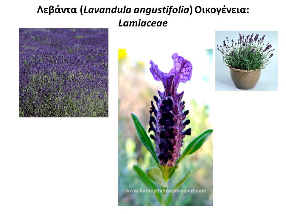 Λεβάντα (Lavandula angustifolia) Οικογένεια: Lamiaceae
