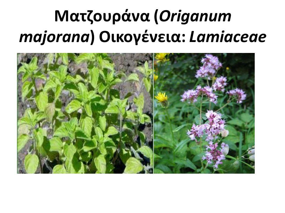 Ματζουράνα (Origanum majorana) Οικογένεια: Lamiaceae