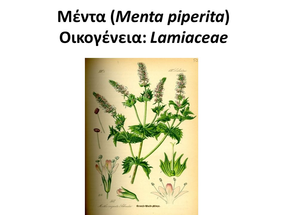 Μέντα (Menta piperita) Οικογένεια: Lamiaceae