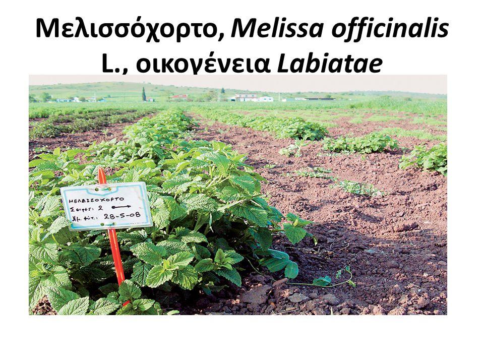 Μελισσόχορτο, Melissa officinalis L., οικογένεια Labiatae