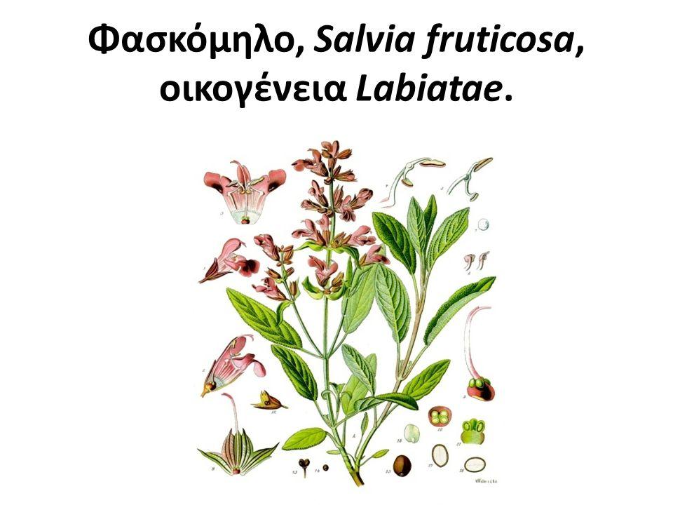 Φασκόμηλο, Salvia fruticosa, οικογένεια Labiatae.