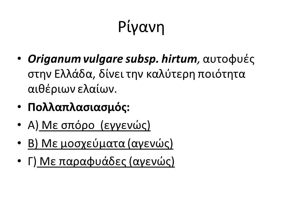 Ρίγανη Origanum vulgare subsp. hirtum, αυτοφυές στην Ελλάδα, δίνει την καλύτερη ποιότητα αιθέριων ελαίων.