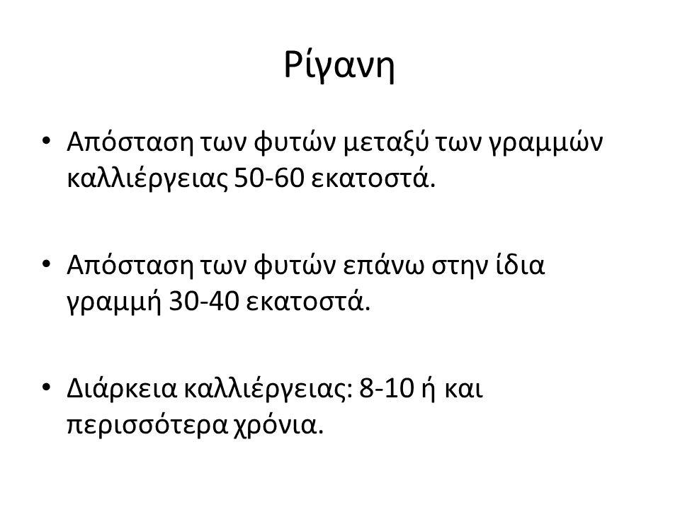 Ρίγανη Απόσταση των φυτών μεταξύ των γραμμών καλλιέργειας 50-60 εκατοστά. Απόσταση των φυτών επάνω στην ίδια γραμμή 30-40 εκατοστά.