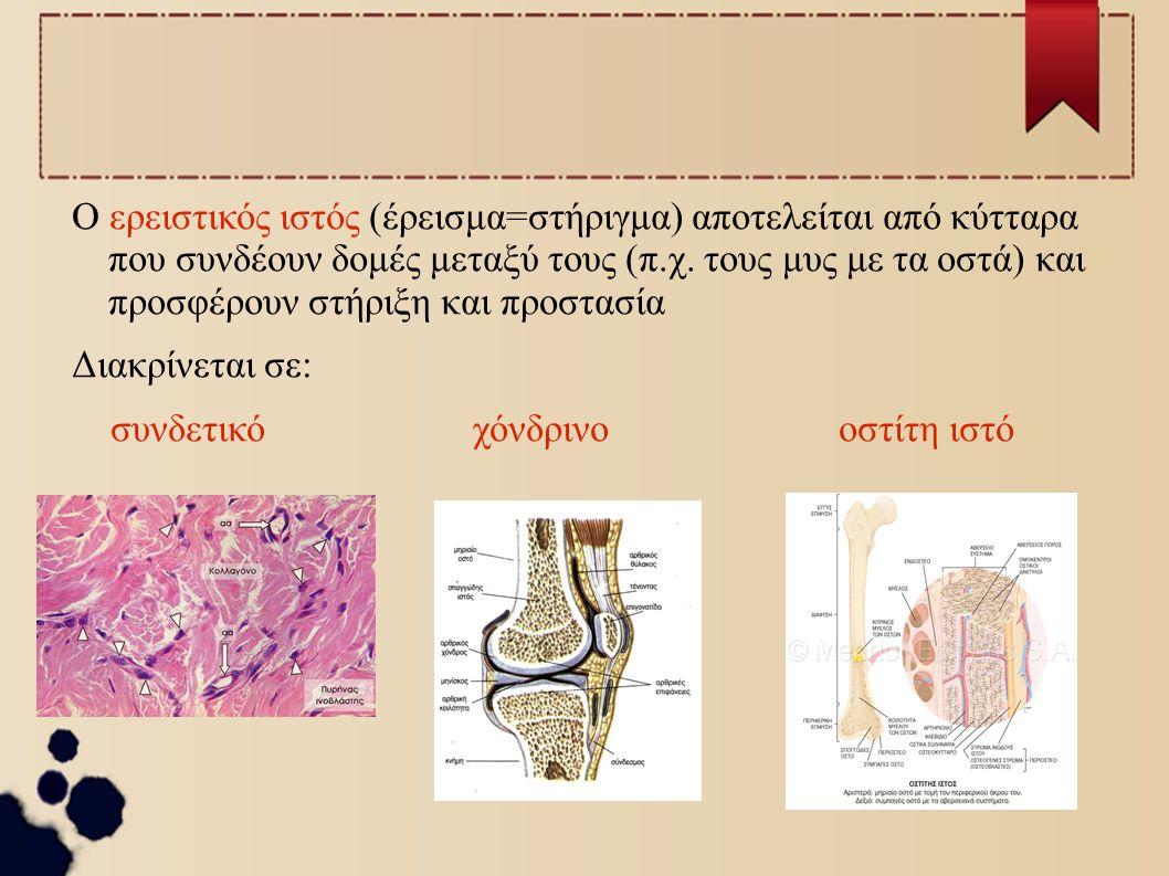 Ο ερειστικός ιστός (έρεισμα=στήριγμα) αποτελείται από κύτταρα που συνδέουν δομές μεταξύ τους (π.χ. τους μυς με τα οστά) και προσφέρουν στήριξη και προστασία