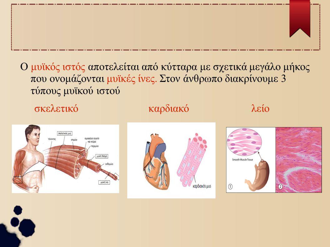 Ο μυϊκός ιστός αποτελείται από κύτταρα με σχετικά μεγάλο μήκος που ονομάζονται μυϊκές ίνες. Στον άνθρωπο διακρίνουμε 3 τύπους μυϊκού ιστού