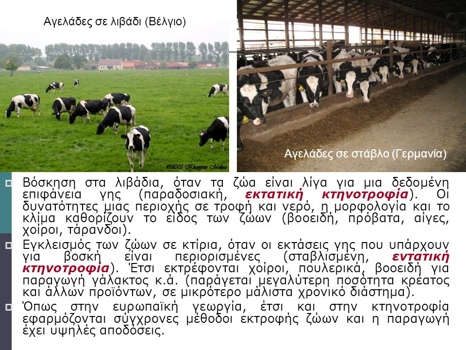 Αγελάδες σε λιβάδι (Βέλγιο)