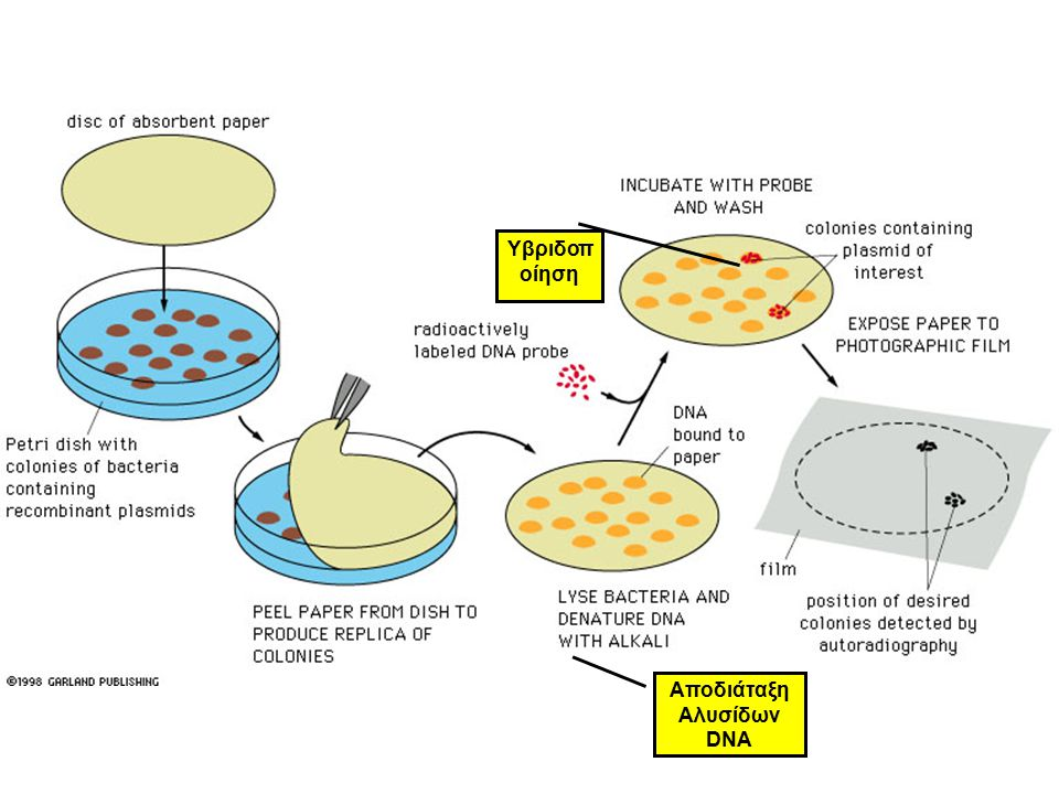 Υβριδοποίηση Αποδιάταξη Αλυσίδων DNA
