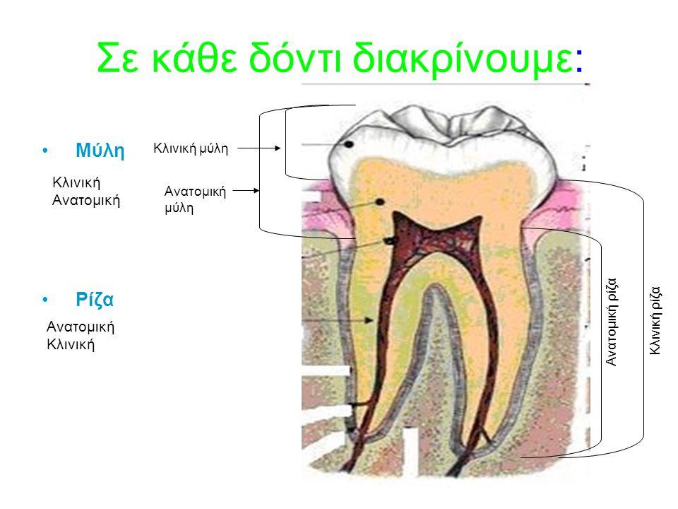 Σε κάθε δόντι διακρίνουμε: