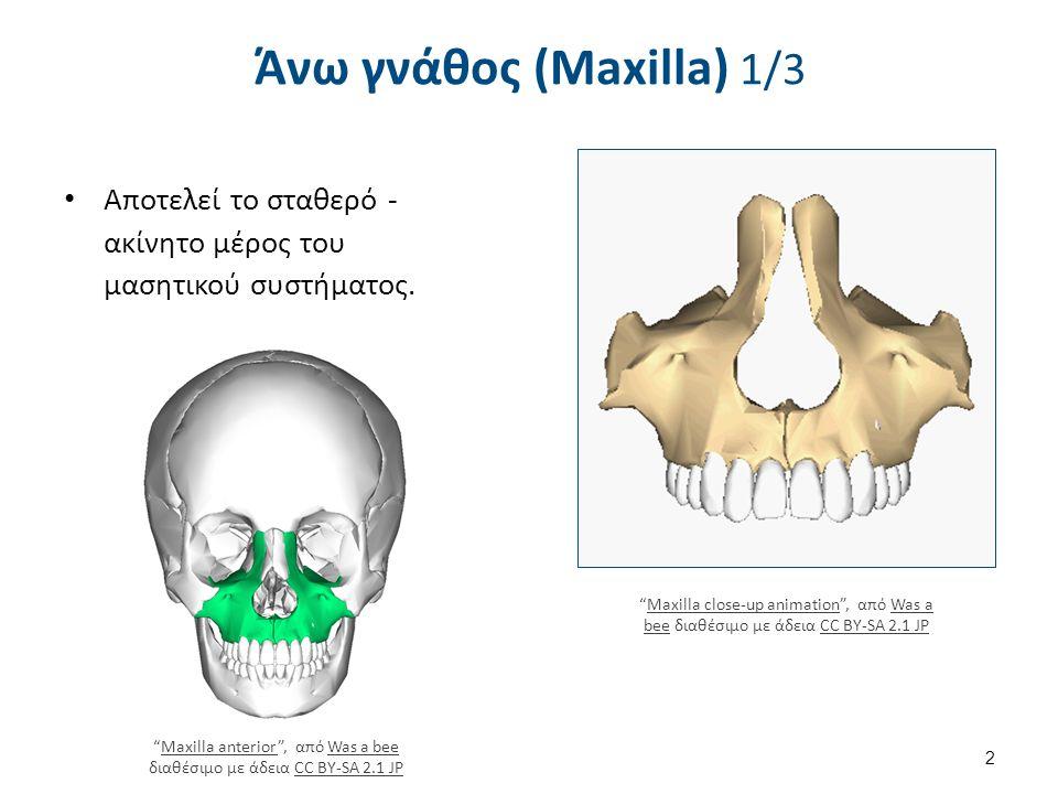 Άνω γνάθος (Maxilla) 2/3 Εξελικτικά αποτελείται από δύο οστά που καθορίζουν το μεγαλύτερο μέρος του άνω προσωπικού κρανίου.