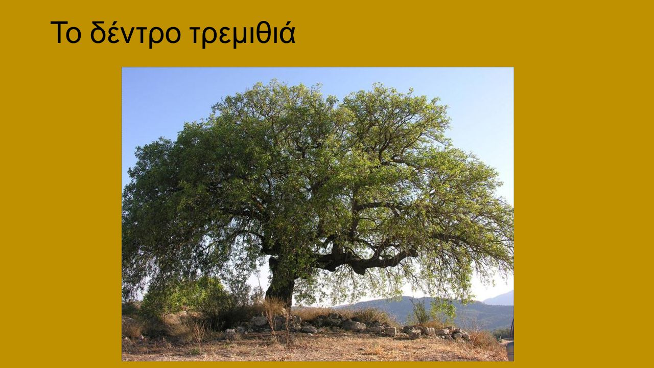 Το δέντρο τρεμιθιά