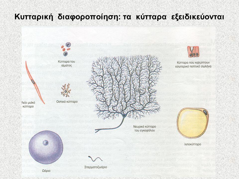 Κυτταρική διαφοροποίηση: τα κύτταρα εξειδικεύονται