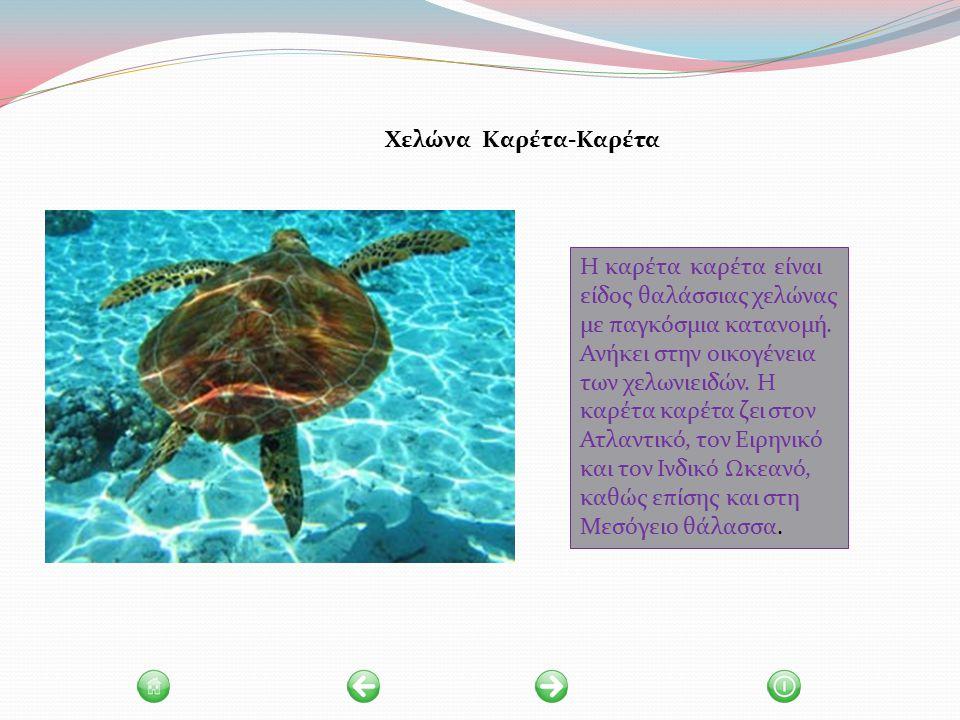Χελώνα Καρέτα-Καρέτα