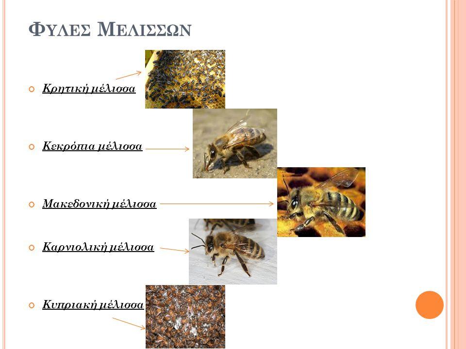 Φυλεσ Μελισσων Κρητική μέλισσα Κεκρόπια μέλισσα Μακεδονική μέλισσα