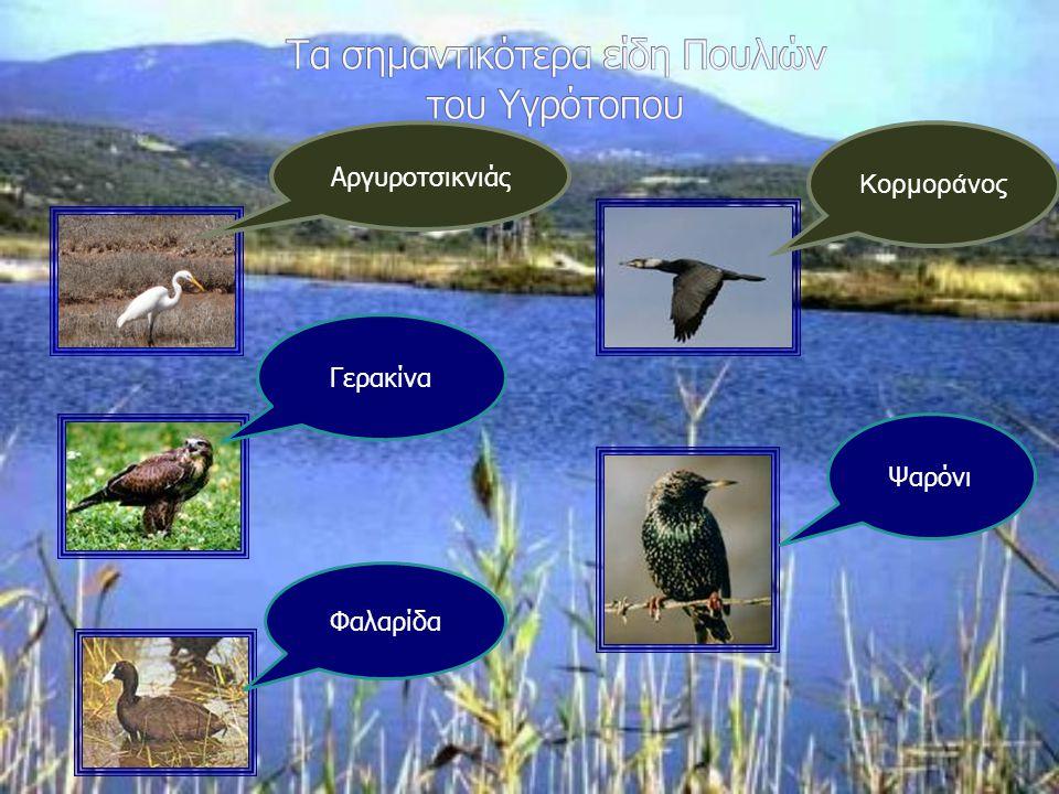 Τα σημαντικότερα είδη Πουλιών του Υγρότοπου