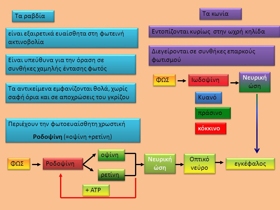 Ροδοψίνη (=οψίνη +ρετίνη)
